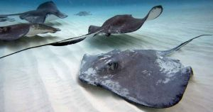 Stingray Stings are Common in Florida!
